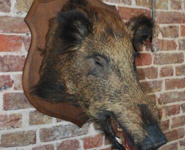 decorative artefact taxidermy wild boar